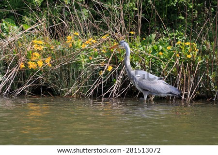 Grey Heron wading and looking for fish in UK - stock photo