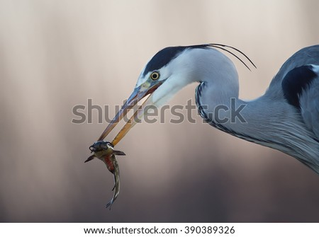 Grey heron with cattle fish in the beak closeup, clean background, Hungary, Europe - stock photo