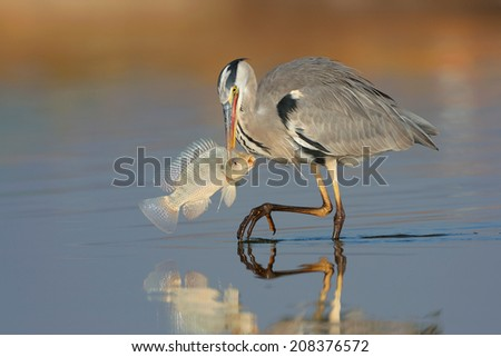 Grey Heron with fish - stock photo