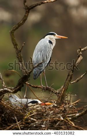 grey heron with nest - stock photo