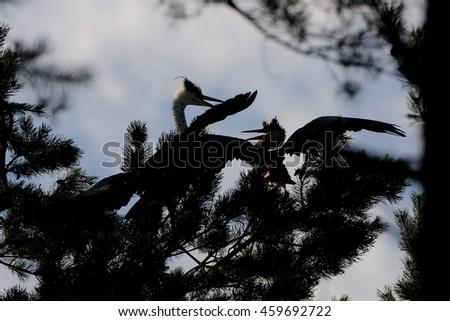 Grey Herons (Ardea cinerea), adult and juvenile birds at the pine - stock photo