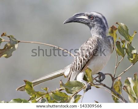 grey hornbill, Kruger NP, South Africa - stock photo
