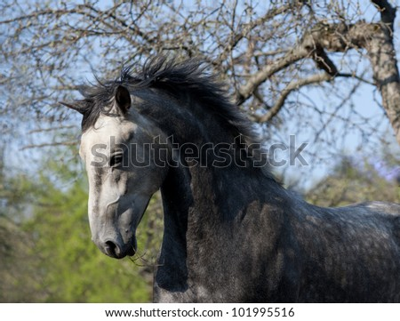 Grey horse free action portrait - stock photo