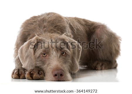 Grey hunting dog