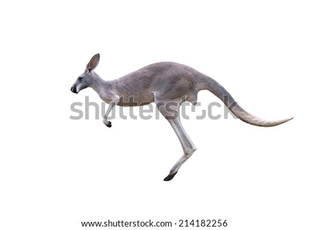 grey kangaroo jumping isolated on white background - stock photo