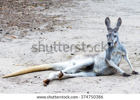 Grey Kangaroo Lying Down, Australia