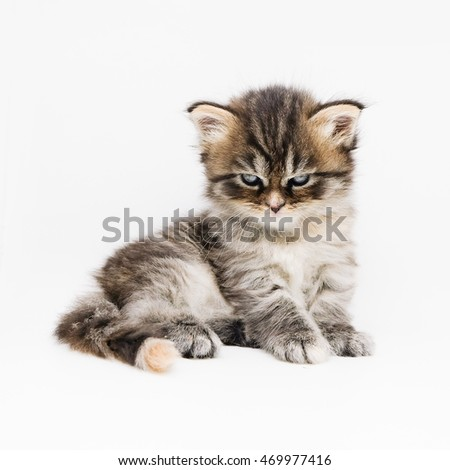 Grey kitten isolated on white
