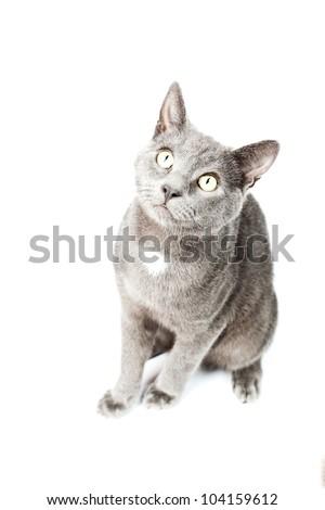 Grey kitten isolated on white background. European short hair. Studio shot. - stock photo