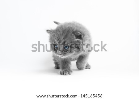 Grey kitten on a white background walking towards