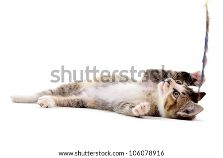 Grey kitten playing and grabbing at in front of a white background - stock photo