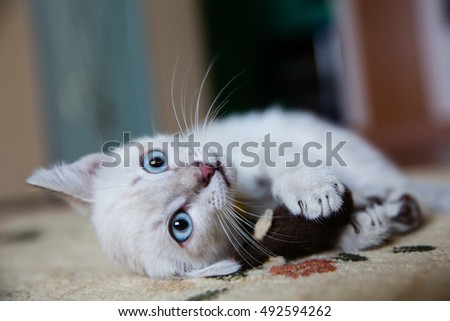 Grey kitten with blue eyes playing with a toy