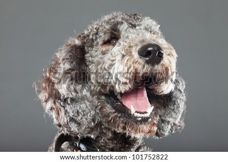 Grey labradoodle isolated on grey background. Studio shot.