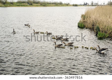 Grey-lag geese with goslings, Unesco World Heritage Site Kinderdijk, South Holland, Netherlands - stock photo
