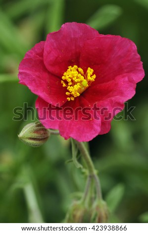 Grey-leaved Cistus - Cistus albidusRed garden flower - stock photo