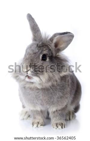 Grey leon-head dwarf rabbit - stock photo