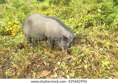 Grey local breed of boar with finding food by self in natural. - stock photo