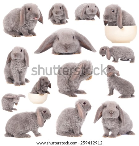 Grey lop-eared rabbit rex breed isolated on white - stock photo