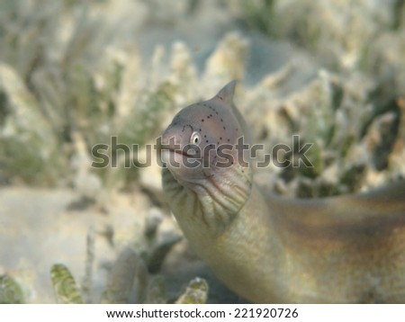 Grey moray eel fish (Gymnothorax griseus) in the green sea grass - stock photo