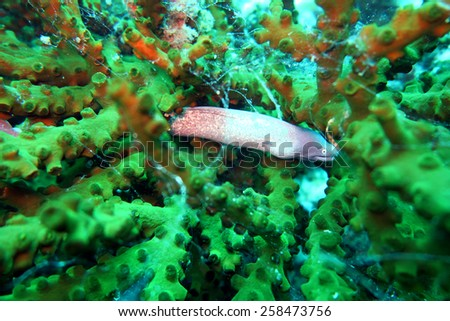 grey moray eel,Gymnothorax nubilus - scuba diving at the coral reef in Thailand
