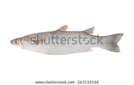 Grey mullet fish isolated on white background