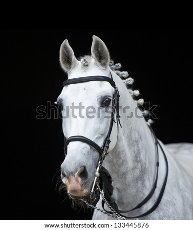 grey orlov trotter horse on black - stock photo