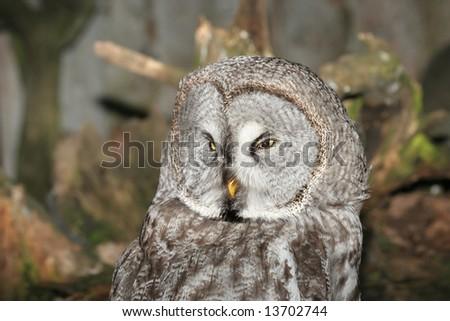 Grey owl - stock photo