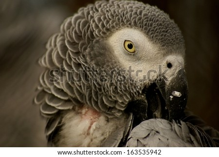 grey parrot - a portrait