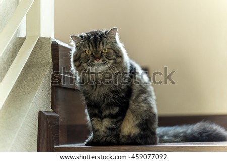 Grey Persian cat relaxing on a staircase, looking at camera