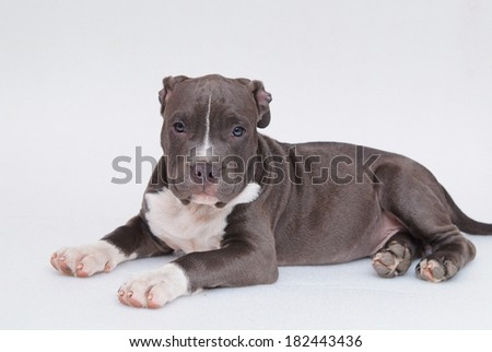 Grey Pitbull  puppy with white background