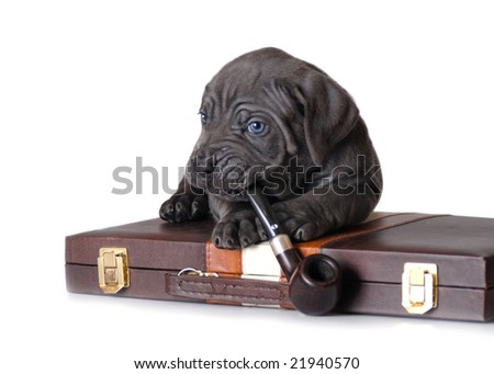 Grey puppy with pipe - stock photo