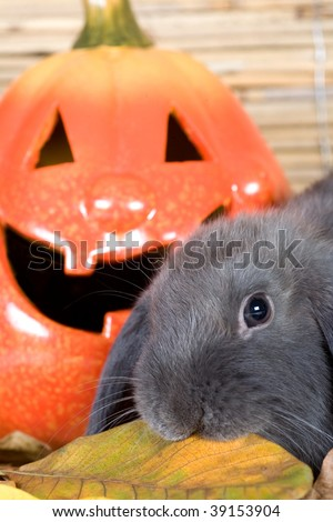 grey rabbit and a halloween pumpkin - stock photo