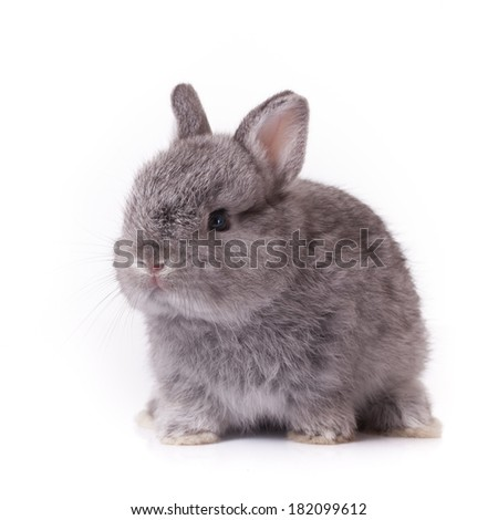 Grey rabbit bunny baby isolated on white background - stock photo