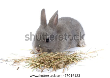 grey rabbit is eating hay over white - stock photo