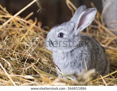 Grey rabbit on dry grass (straw)  - stock photo