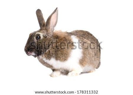 grey rabbit, photographed in the studio, isolated on white background