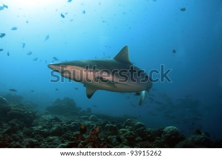 Grey reef sharks in the coral reef - stock photo