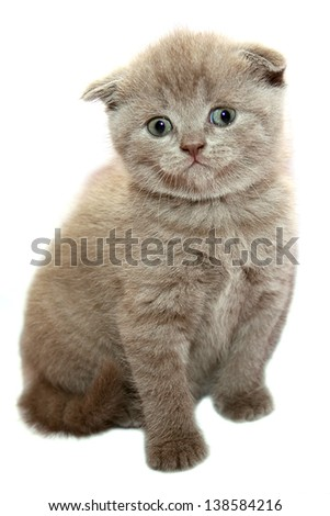 Grey scottish kitten on the white background - stock photo