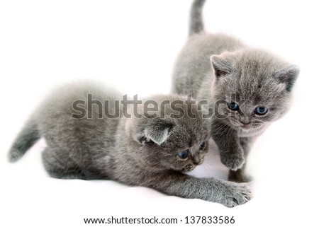Grey scottish kittens on the white background - stock photo
