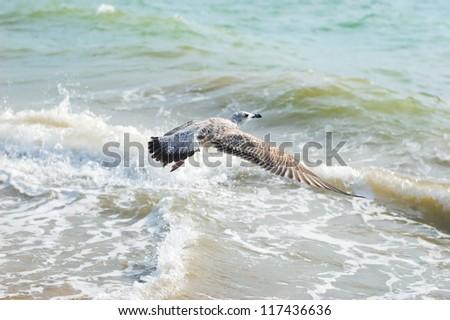 Grey seagull over the sea - stock photo