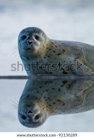 Grey Seal  animal (Phoca vitulina) on the shore side with a reflection - stock photo