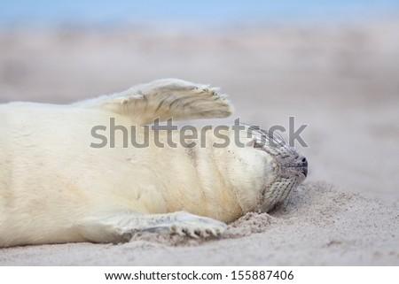 grey seal Baby (halichoerus grypus) on the beach  - stock photo