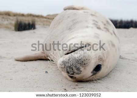 Grey Seal (Halichoerus grypus) on the Beach - stock photo