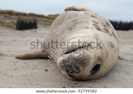 Grey Seal (Halichoerus grypus) Relaxing on the Beach - stock photo