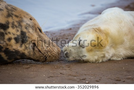 Grey seal mother and pup - stock photo