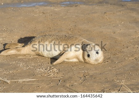 Grey seal pup (Halichoerus grypus) on the beach - stock photo