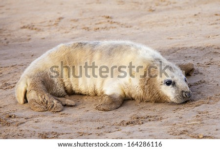 Grey seal pup in Donna Nook, Uk - stock photo