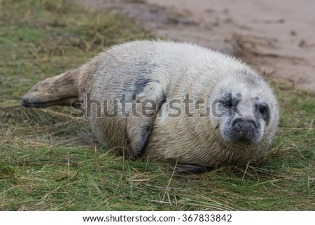 Grey Seal Pup in Grass Dune. In Winter. Donna Nook.