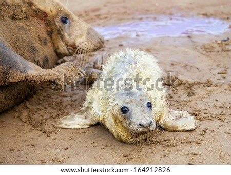 Grey seals, mother and a newborn pup, Donna Nook, UK - stock photo