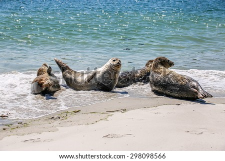Grey seals on the beach of the island Helgoland in Germany