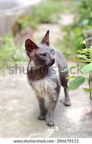 Grey sphinx/bald cat walking outdoors  - stock photo